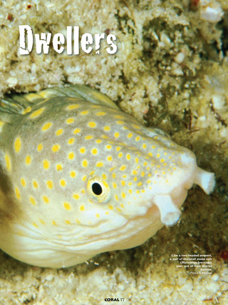 Serpentine Sand Dwellers — Snake Eels (Family Ophichthidae)