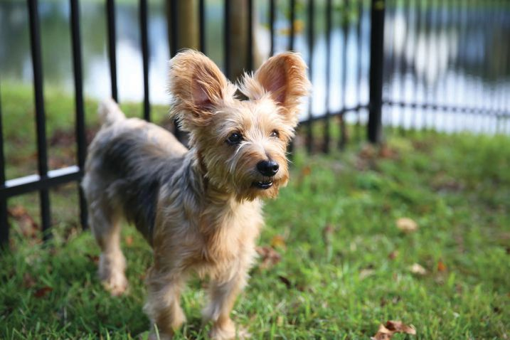 Small dogs should be leashed and never left unattended, unless they are in a yard secured by a six foot fence that extends underground by at least six inches.