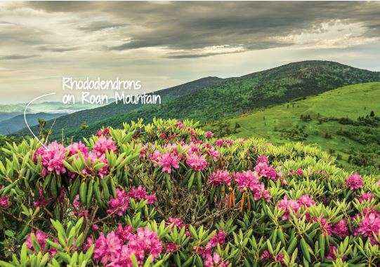 Rhododendrons on Roan Mountain