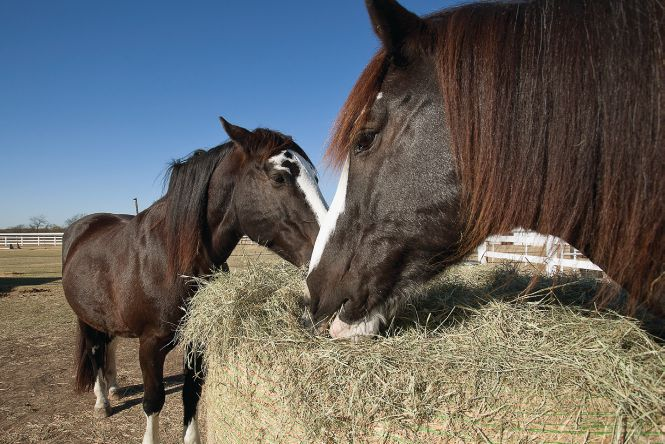 Athena and Thor, the Cairneys' original rescues, feast on a round bale of hay. They were foals given up for slaughter in Colorado before making the move to Texas. The couple took them to Germany with them when Paul Cairney got stationed overseas.