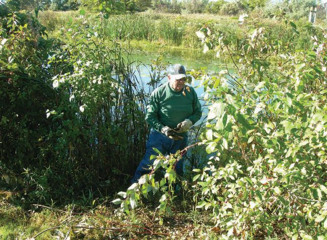 Lions cut down and hauled away invasive cattails from the shoreline of Veterans Memorial Park.