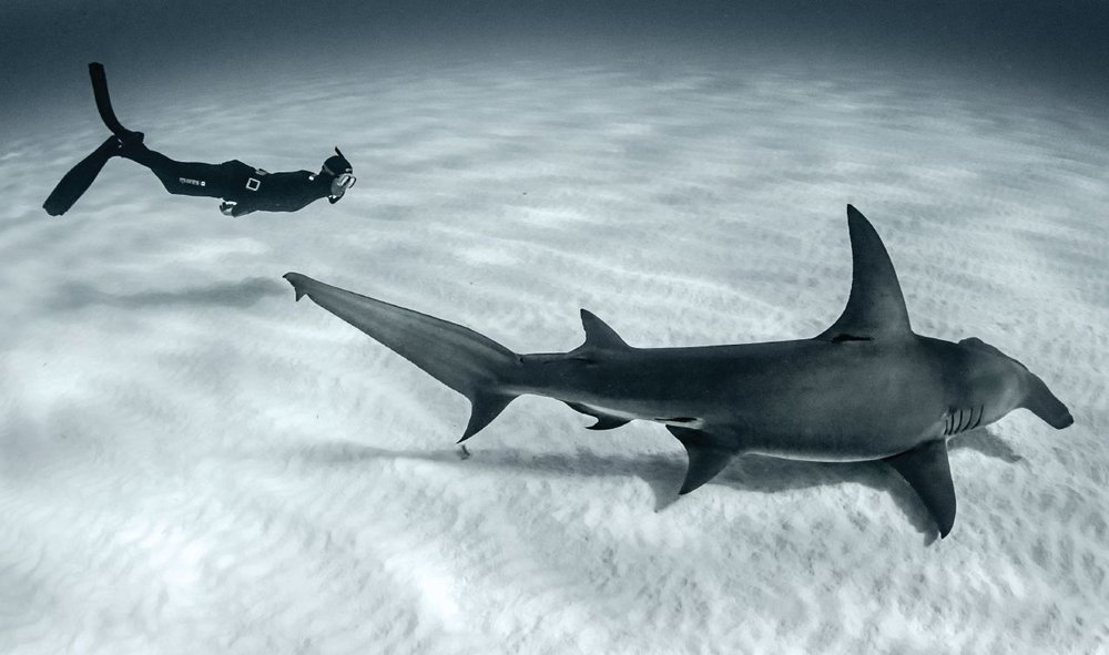 'Vincent Canabal, owner of Epic Diving, freedives alongside a great hammerhead off Bimini in the Bahamas. Photo credit: Amanda Cotton.