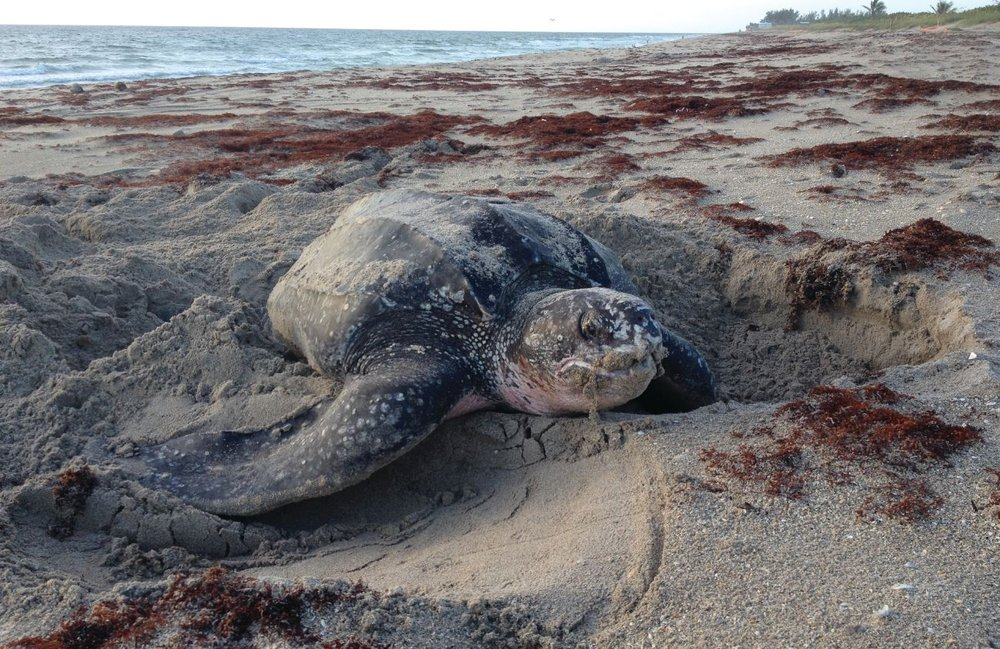 A leatherback finishes covering her nest in the early morning hours. Photo credit: Niki Desjardin.