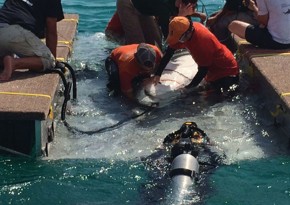 Researchers (in orange) measure the length and girth of a shark. Researcher (in green) uses a portable ultrasound to determine whether the shark is pregnant. Researcher (in blue) monitors the pump that is supplying fresh seawater into the shark's mouth and through its gills to make sure it is receiving plenty of oxygen. Diver in the water films the entire thing. Photo credit: SeaKeepers.