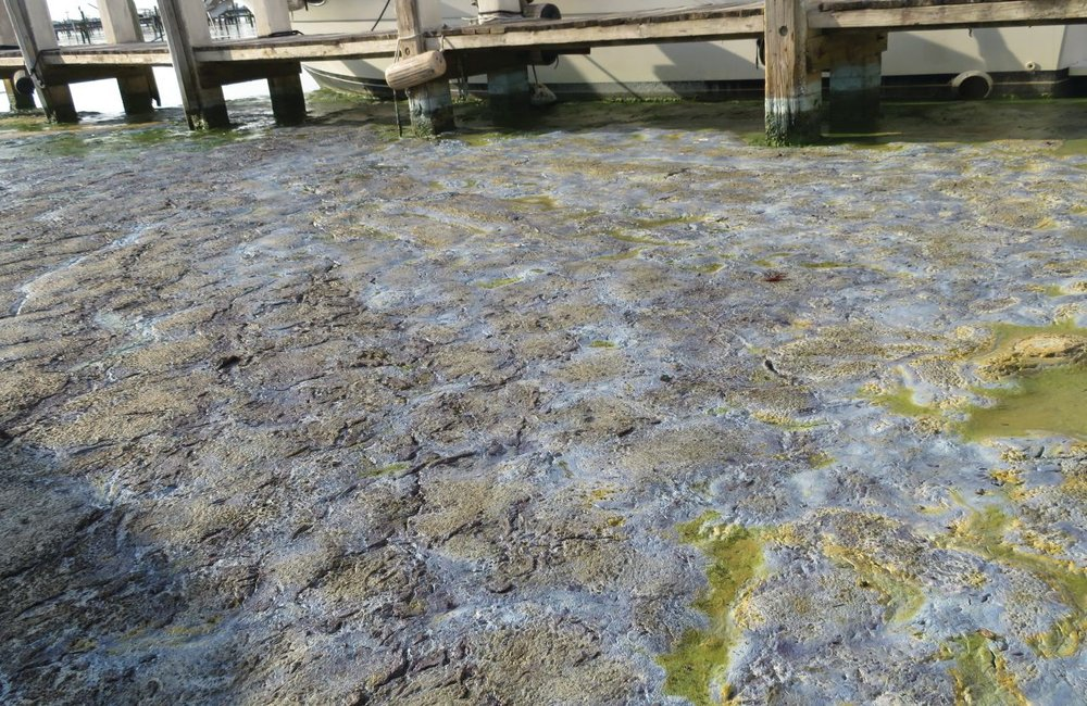 One algal bloom contained microcystin at a rate of 33,000 parts per billion. The World Health Organization considers anything over 10 parts per billion hazardous. Photo credit: Rebecca Fatzinger.