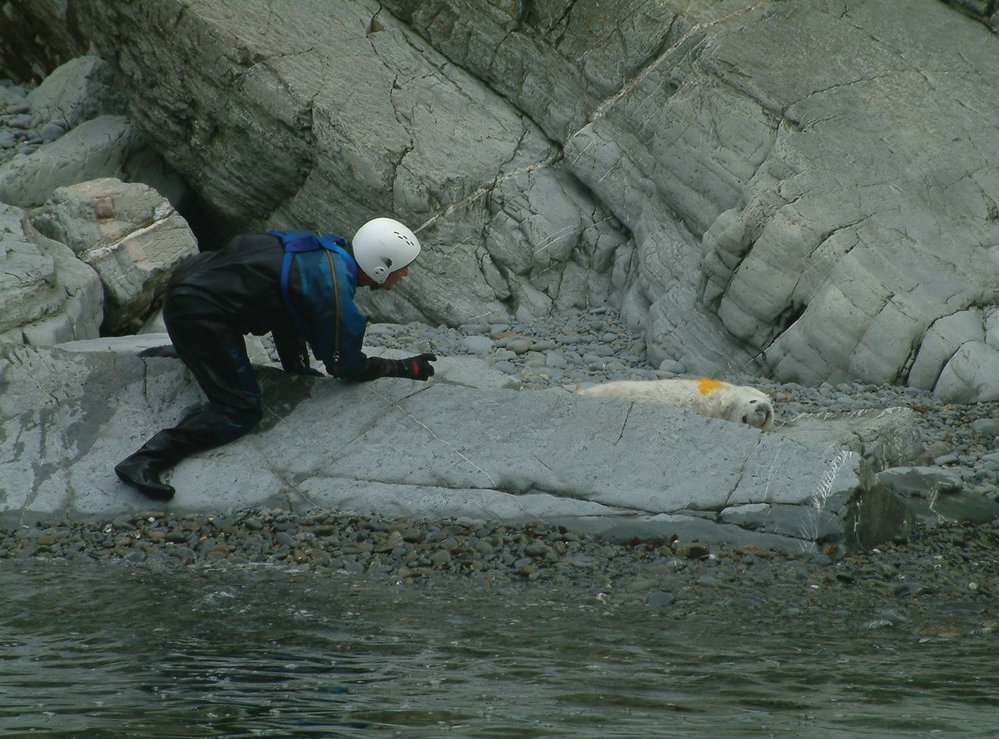 Research scientists having just spray marked a seal pup. Photo credit: Phil Newman, Natural Resources Wales.