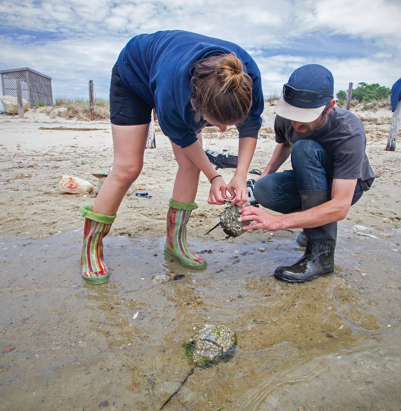 Citizen science in action (May 2015): Researchers, interns, and volunteers tag horseshoe crabs that are drawn to the Massachusetts Bay side of Duxbury Beach each spring for mating. As the crabs are gathered and tagged, their sex, size, and shell condition are noted. It's part of an effort to gather data on population fluctuations and the movement of the crabs.