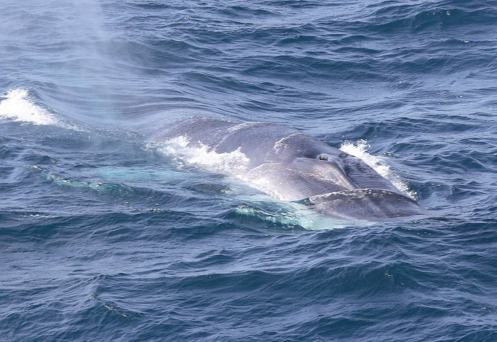 Fin whale surfacing. Although whales spend most of their time submerged underwater, they mustbreach the ocean's surface to breathe. Photo credit: ORCA.