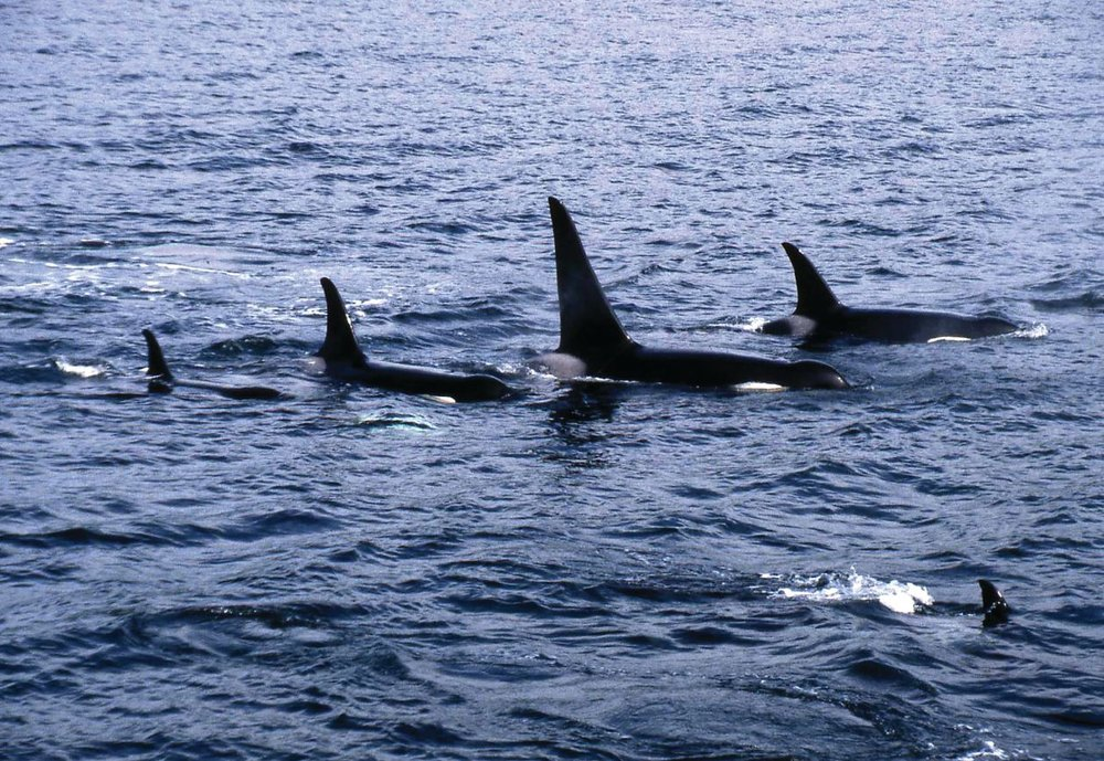 Killer Whales spotted from a Brittany Ferry. ORCA records all of their sightings from on-board Brittany Ferries in a blog.