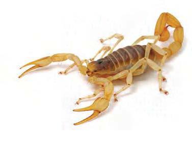 Giant desert hairy scorpion, Hadrurus arizonensis