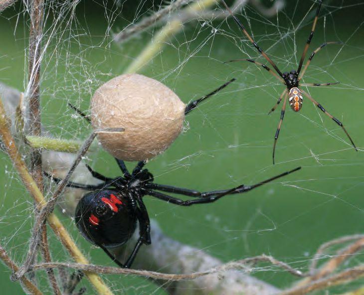 Black Widow Spider Family - Female, Male, Egg sac