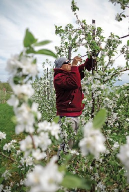 Oscar Montes ties branches into place while apple blossoms are in full bloom
